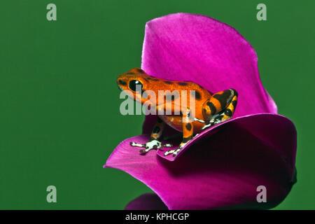 Isla Colon sapo dardo, aka Strawberry Poison-Dart Rana (Oophaga pumilio)