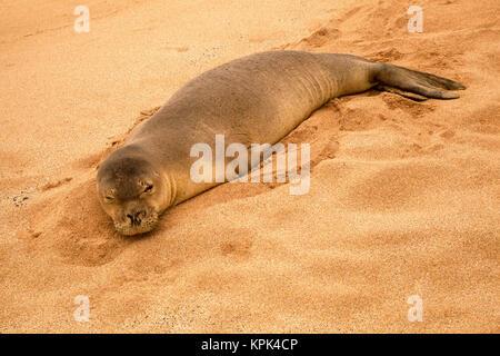 La foca monje hawaiana (Neomonachus Papohauk schauinslandi) descansa en la playa en la isla de Molokai; Molokai, Hawaii, Estados Unidos de América