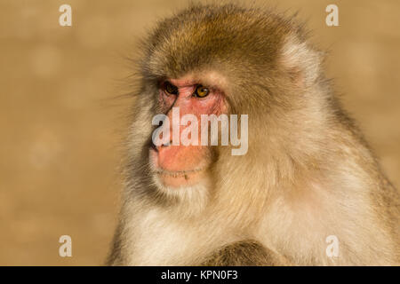 Mono en vida silvestre.