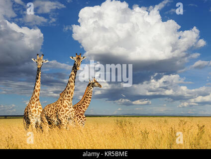 Cerrar jirafa en el parque nacional de Kenya, Africa.