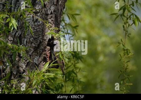 Songbird starling en su nido de árbol