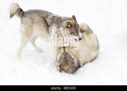 Madera lobos o lobo gris (Canis lupus) jugando en la nieve del invierno en Canadá