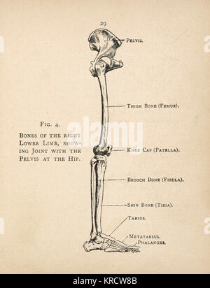Articulación de la cadera - Anatomía huesos Foto & Imagen De Stock ...