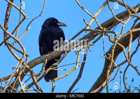 Carrion crow o Corvus corone perchas en rama