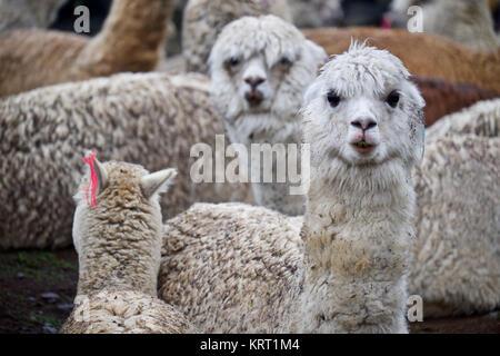 Rebaño de alpacas en Q'ero aldea en los Andes cerca del Valle Sagrado. Q'ero se consideran los antepasados espirituales de los Incas que viven en 4300* m de altitud