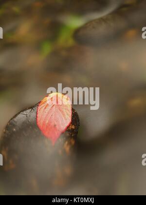Hoja de frambuesa espinoso atrapados en la piedra mojada. Una deja atrapada en medio de un arroyo de montaña.