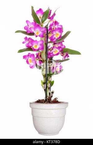 Dendrobium nobile,traubenorchidee