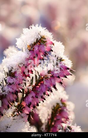 Floración invierno Heath, Erica carnea, cubierto de escarcha, un close up de flores con una capa de cristales de hielo en una fría mañana de invierno, Alemania
