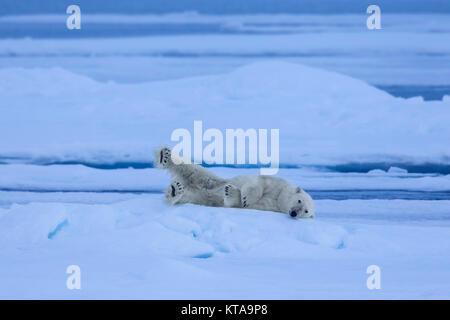 Solitario oso polar (Ursus maritimus / Thalarctos maritimus) descansando sobre la banquisa en el océano Ártico