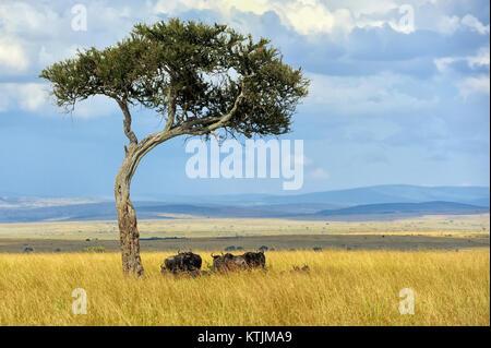 Los ñus en Savannah, parque nacional de Kenya, Africa. Foto de stock