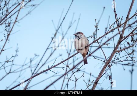 Gorrión macho, Passer domesticus, sentado en una rama del árbol en el Volkspark am Weinbergsweg, Berlín, Alemania Foto de stock