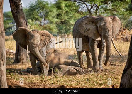 Bush africano, Loxodonta africana, elefantes en el Parque Nacional Tarangire, Tanzania, África Foto de stock