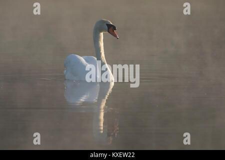 Cisne (Cygnus olor), nadar en el lago cubierto de niebla por la mañana temprano