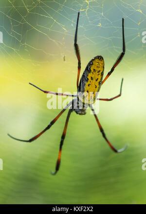 Un colorido de patas rojas, Golden orb-web (araña Nephila inaurata madagascariensis). Parque Nacional Ranomafana. Madagascar, África.
