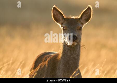 Cierre de un ciervo rojo salvaje impresionante en el hermoso sol de la Isla de Islay