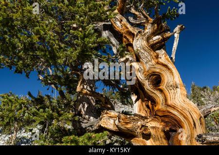 Great Basin Bristlecone Pine (Pinus longaeva) en el Parque Nacional de la Gran Cuenca, Nevada