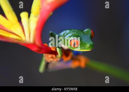 La rana arborícola de ojos rojos (Agalychnis callidryas) en Costa Rica selva de tierras bajas
