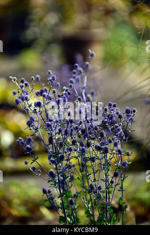 Eryngium × zabelii Jos Eijking cardo,azul,azul mar holly,flor,flores,la floración,bráctea,las brácteas, jardín, jardines florales,RM