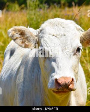 Toro blanco cerca de vaca en un campo borrosa de pastos altos. Él tiene un poco de hierba en su frente y un pequeño trozo de gramíneas en sus fosas nasales.