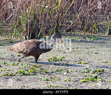 Limpkin (Aramus guarauna) caminando por Marsh a Paynes Prairie en Florida