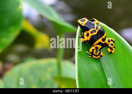 Un bonito color de abejorros poison dart frog descansa sobre una hoja vegetal en los jardines.