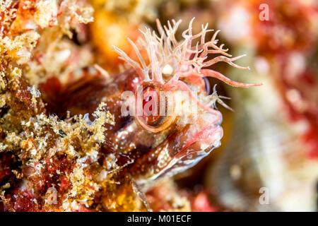 Un pequeño pez blenny fringehead peeks de un agujero en un arrecife en el sur de California.