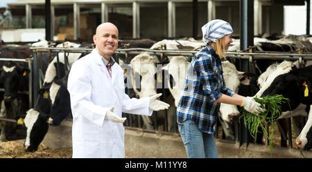 Alegre dos trabajadores de veterinarios que trabajan con vacas en cowhouse lechoso al aire libre