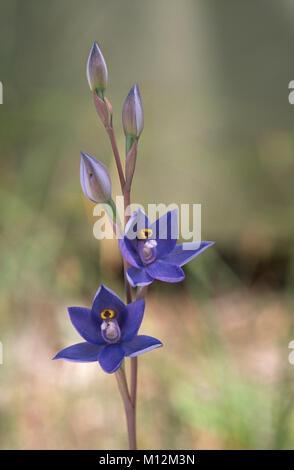 Esbelta orquídea Sol (Thelymitra pauciflora) floración Foto de stock