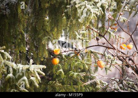 Blackbird come fruta caqui