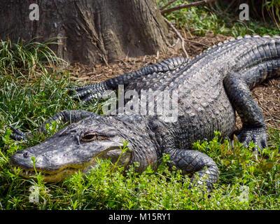 Alligator sentando en el suelo, el zoológico de animales