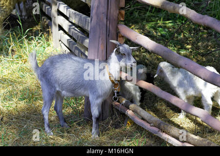 Cabrito, cerca de la valla en la granja