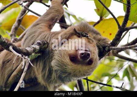 Dos de Hoffmann, salvaje de Pereza (Choloepus hoffmanni vetado) dormir boca abajo en un árbol en Manuel Antonio en la provincia de Puntarenas, Costa Rica