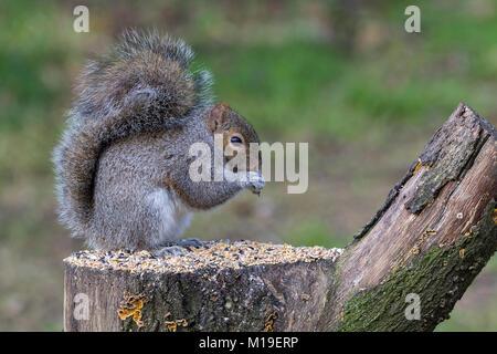 La ardilla gris (Sciurus carolinensis) alimentándose de semillas de aves en una reserva de fauna silvestre Warnham ocultar en Horsham West Sussex, Reino Unido. Alimentándose de semillas en tocón de árbol