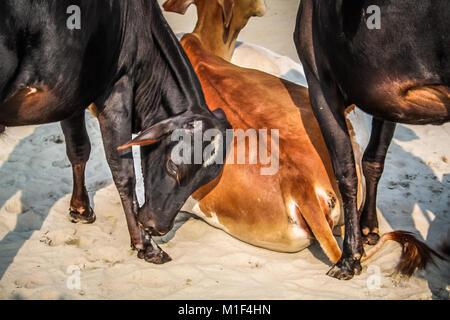 Acercamiento de las vacas en la India roaming