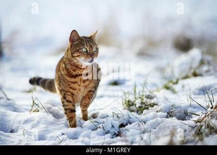 Gato de Bengala. Staning adultos sobre la nieve. Alemania