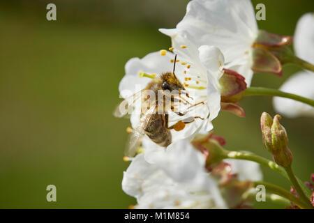 Abeja de miel europea, Occidental de abejas (Apis mellifera, Apis mellifica). Trabajador en una flor de cerezo. Alemania