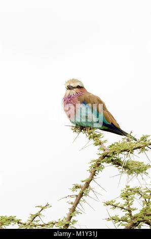 Lila-breasted rodillo (Coracias caudatus) en el Serengeti