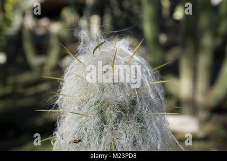 Desde un fin de semana para visitar el jardín botánico, las fotos macro este cactus peludo que parece una pequeña Foto de stock