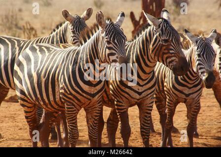 Grupo zebra en Kenya safari