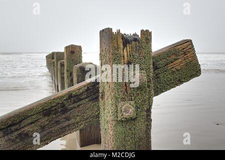 Liquen verde cubierto de madera vieja groynes sobre una playa de arena húmeda mirando al mar. Playa Barmouth, North Wales
