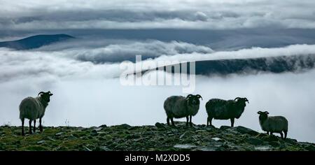 Ovejas encima de un banco de niebla, la Isla Achill, Condado de Mayo, Irlanda.