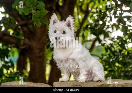 West Highland White Terrier, conocido comúnmente como el westie es una raza de perro de Escocia con un distintivo blanco dura untar con algo de la WHI suave