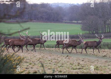 Windsor, Reino Unido. 12 de febrero de 2018. Ciervos rojos en Windsor Great Park. Hay una manada de ciervos rojos alrededor de 500 dentro del gabinete de Deer Park en Windsor Gr