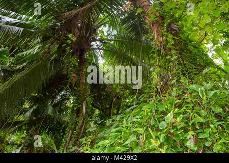 Selva tupida con palmeras, liana y otras verde y exuberante vegetación en Seychelles