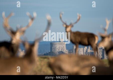 Ciervo en Windsor Great Park, Berkshire, Inglaterra. Castillo de Windsor puede verse en el fondo.