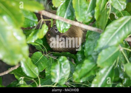 Un relajado sleepy Linnaeus dos dedos cada sloth (Choloepus didactylus) colgando en la copa de árbol. Dubai, Emiratos Árabes Unidos.