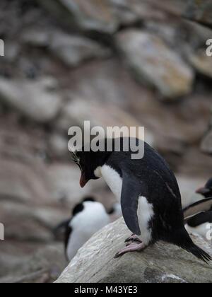 Un pingüino penacho de pie en un acantilado rocoso y mirando por encima del borde. Fotografiar con poca profundidad de campo.