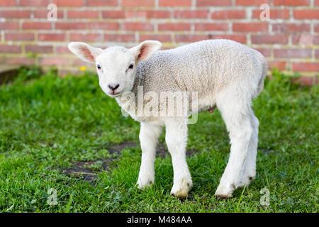 Un recién nacido blanco cordero de pie en el pasto verde con muro