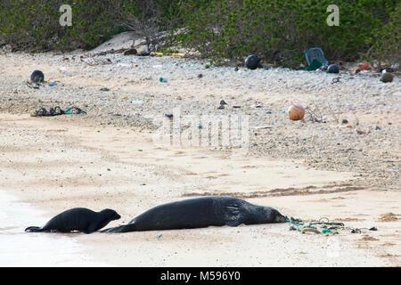 La foca monje hawaiana (Neomonachus schauinslandi) a la madre y al bebé en el norte de la isla del Pacífico con los desechos marinos incluyendo cuerdas y arrastrado de plástico