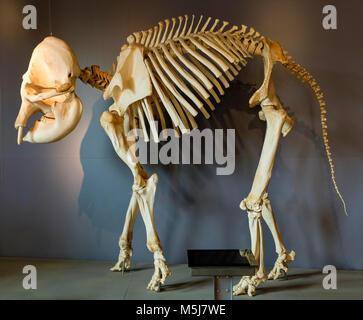 Copenhague, Dinamarca / Región Zelanda - 2017/07/26: Jardín Zoológico ZOO - modelo de un esqueleto de elefante africano de menores